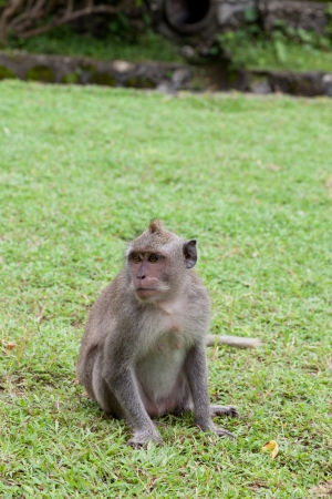elicit: small monkey sits on a green grass Stock Photo