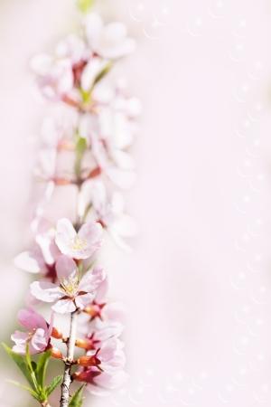 almond bud: Prunus serrulata or Japanese Cherry in full bloom.