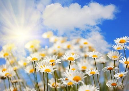 Champ avec camomiles avec le ciel bleu et le soleil
