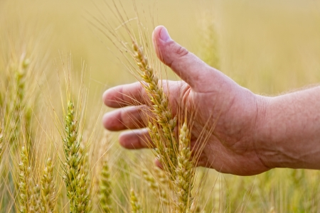 Wheat ears in the hand.Harvest concept photo