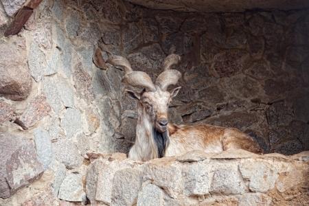 cabra montes: cabra de monta�a se encuentra en la roca