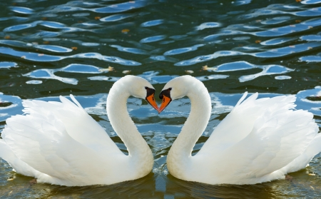 swan pair: Two swans bent necks in the form of heart