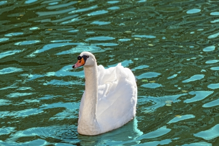 floats: White swan floats on blue water