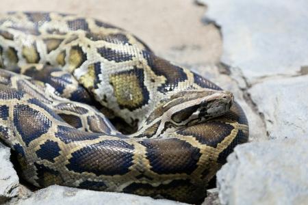 pythons: mesh python lies on stones Stock Photo
