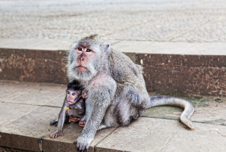 beggars: Monkeys beggars elicit delicacies, Bali, Indonesia