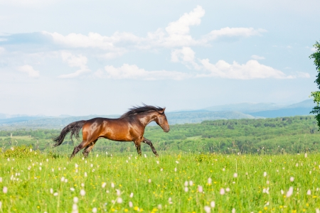 Bay Arab racer on a meadow against mountains photo