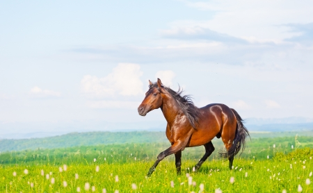 bay horse skips on a meadow against mountains photo