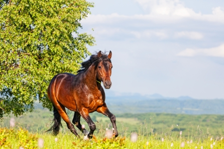 horses in field: Bay horse skips on a meadow against mountains