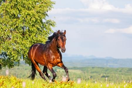 Bay Pferd springt auf einer Wiese gegen Berge Standard-Bild - 20295551