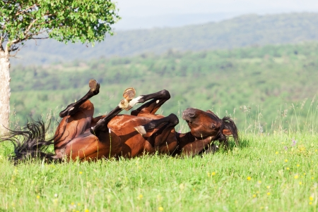 bay horse lies on a green grass photo