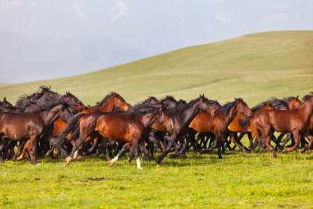 domestic horses: Herd of horses on a summer green pasture