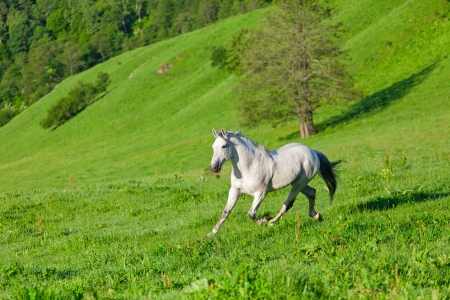 Gray Arab horse gallops on a green meadow photo