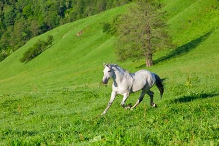 Grijze Arabische paard galoppeert op een groene weide Stockfoto