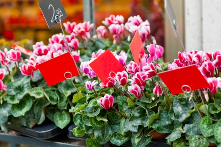 Pink cyclamens on a counter in flower shop Stock Photo - 20401360