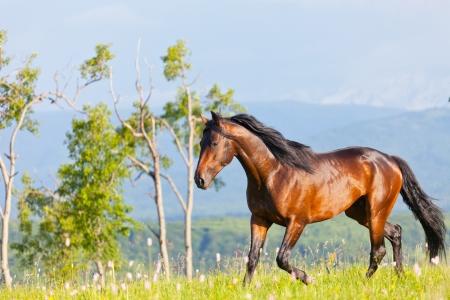 Arabische racer läuft auf einer grünen Sommerwiese