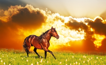 bay horse skips on a meadow against a sunset