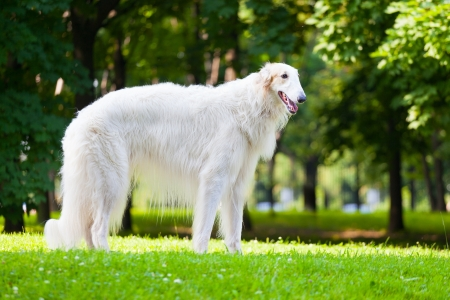 Beautiful dog breed Russian Borzoi standing on the grass lit by the sun photo