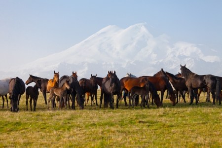 Herd of horses on a summer pasture. Elbrus, Caucasus, Karachay-Cherkessia photo