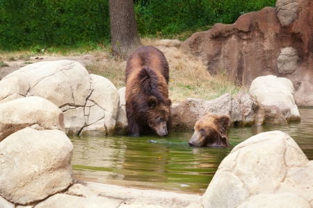 Two young brown Kamchatka bears swim in the lake Stock Photo - 21723037