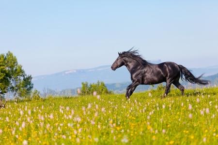 horse chestnuts: Arab racer runs on a green summer meadow