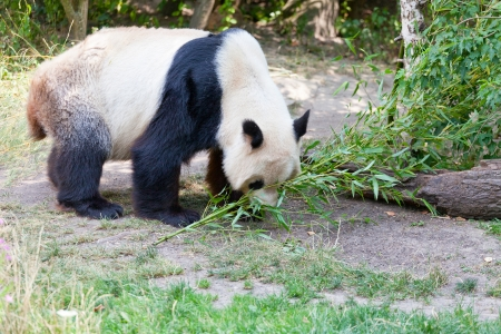 escapes: huge panda a bear is bamboo escapes Stock Photo