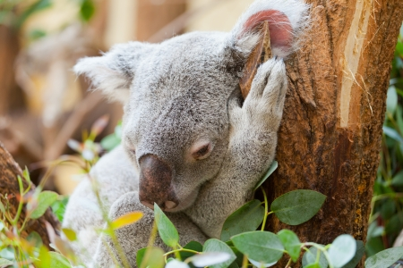 koala a bear sits on a branch of a tree and sleeps photo