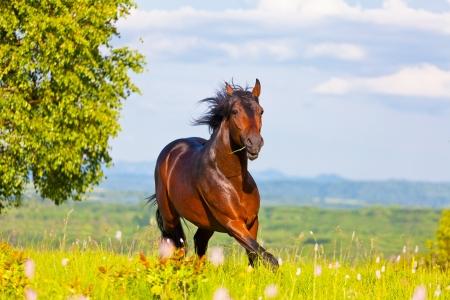 chevaux noir: Coureur arabe fonctionne sur une verte prairie d'?t?