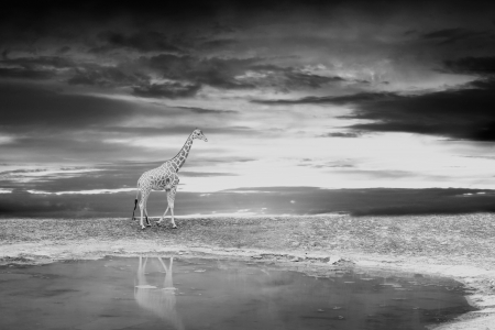 Giraffe on the bank of the lake during a sunset photo