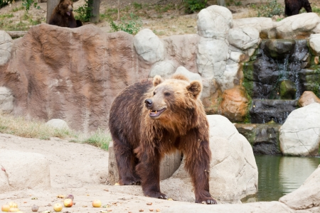 Big Kamchatka brown bear among stones in the wood photo