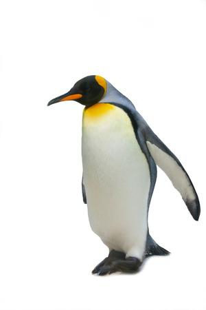 Gran pingüino imperial, está aislada, un fondo blanco