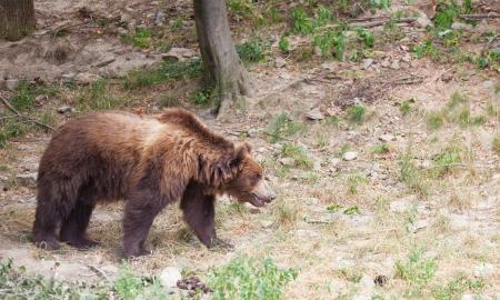 big brown Kamchatka bear goes on the wood Stock Photo - 23424173