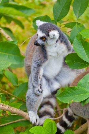 green vegetation: Portrait of a lemur against green vegetation