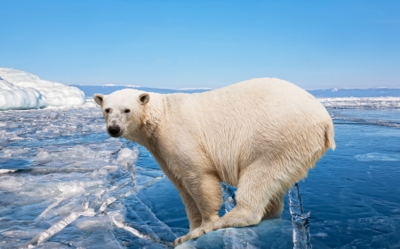 marine environment: polar bear standing on the ice block