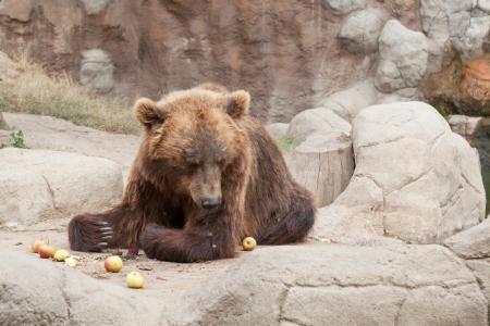tiaga: Big Kamchatka brown bear among stones  Stock Photo
