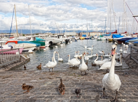 leman: Pack of swans on Leman Lake in Geneva, Switzerland