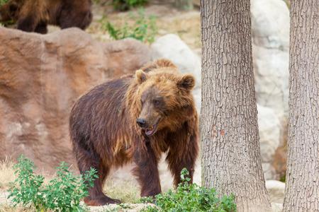 tiaga: Big Kamchatka brown bear Stock Photo