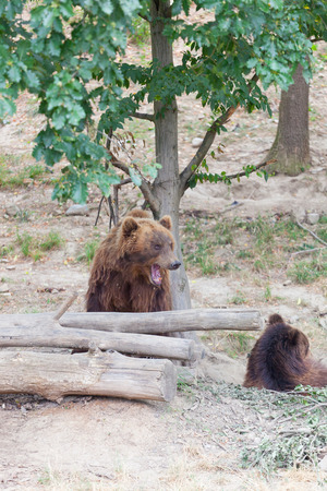 tiaga: Big Kamchatka brown bears in forest