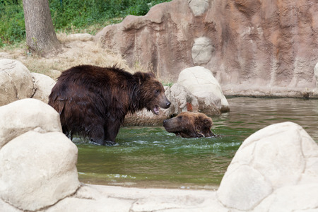 Two young brown Kamchatka bears swim in the lake photo