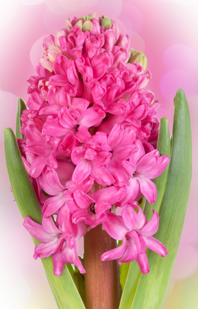 Pink hyacinth flower in clay pot