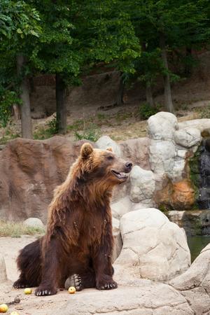 Big Kamchatka brown bear among stones photo
