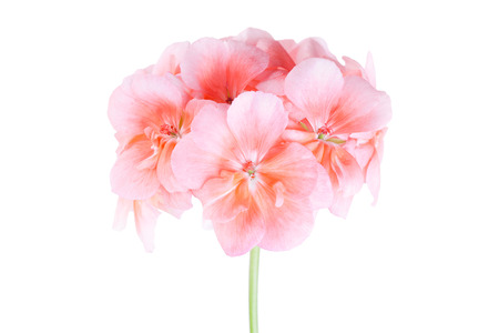 Pink flowers of a geranium on a white background