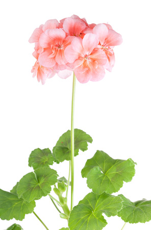 Blossoming pink geranium on a white  photo