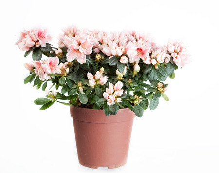 Blossoming azalea of a grade of Mevrouw Gerard Kint in a flowerpot on a white  photo