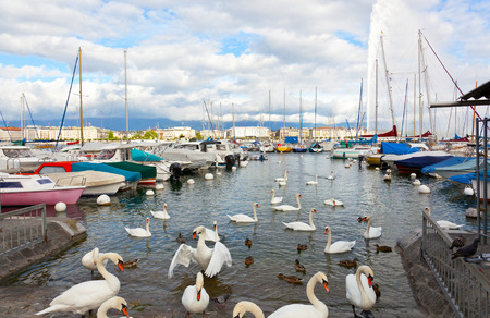 eau: Pack of swans on the lake in Geneva, Switzerland