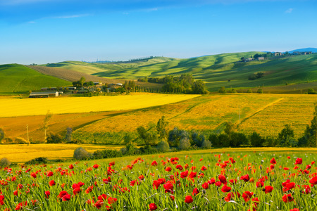red poppies on green field: Rural landscape with blossoming poppies, Tuscany, Italy Stock Photo