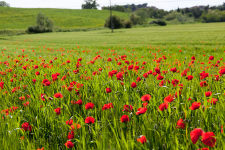 Field with blossoming poppies photo