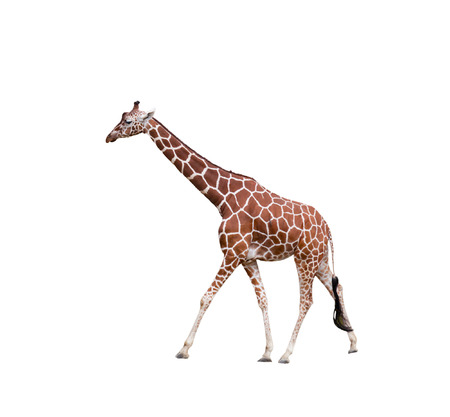 Giraffe,  isolated on a white background photo