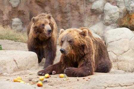 Two big brown Kamchatka bears eat apples photo