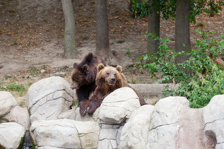 Two big brown bears have a rest on stones photo
