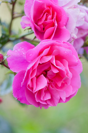 shined: Bright beautiful pink rose shined with the sun